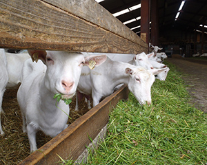 Болезни коз — симптомы и лечение