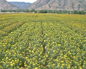 Что такое сафлора и как она выглядит