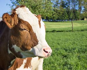 Как определить стельность коровы народными средствами