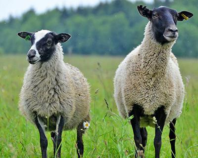 Какие породы овец и баранов бывают: фото и описание основных пород